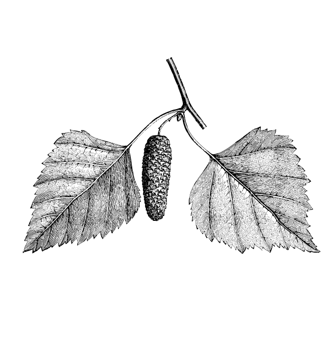 Een icoon onder de bomen met een naam die is gebaseerd op de kenmerkende witte schors. Het berkenblad wordt dankbaar opgepeuzeld door lieveheersbeestjes en rupsen. Groenvinken verslinden zijn zaden. En spechten nestelen vaak in de stam van de zilverberk.