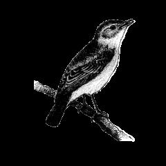 Een kleine vogel, zo groot als een roodborstje, met grijszwart verenkleed en een rode staart – vandaar zijn naam. Een zwart roodstaartje geniet van het leven in stedelijke gebieden en is dol op klifachtige gebouwen.