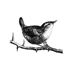 A tiny brown bird with a remarkably loud voice. To keep warm in winter, it will snuggle up with around 10 other wrens in one nest.